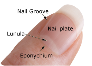 346574_LS-Rev-16-8-Fingernail.png
